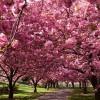 TOKIO, la città dei fiori di ciliegio